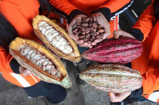 Cacao, Cocoa, Coca , Cocoa Pods and Beans